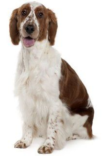Welsh Springer Spaniel ~ Dog Breed ~ Edible Image Cake / Cupcake Topper