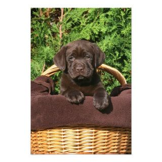 Brown one chocolate labrador retriever puppy in th photo art