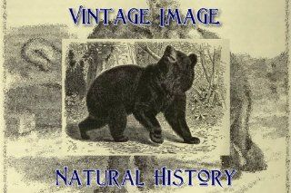 "7.5cm x 5cm (3"" x 2"") Acrylic Fridge Magnet Vintage Natural History Image American Black Bear   Refrigerator Magnets"